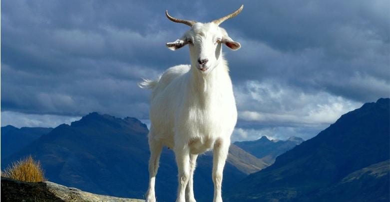 Cachemire chèvre