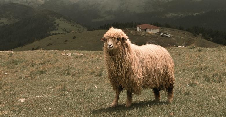 Mouton chachemire